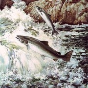 Salmon_fish_swimming_upstream